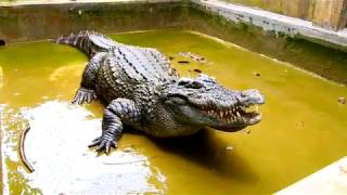 New place for the crocodile (Nơi ở mới của cá sấu)