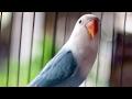 Satu Jam Suara Burung Lovebird Juara Ngekek Panjang Tanpa Jeda