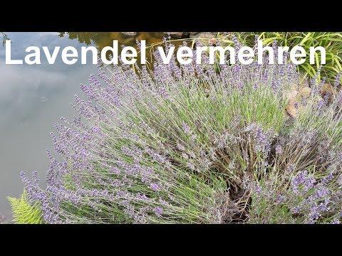 Lavendel Vermehren Lavendel  Stecklinge Lavendula Vermehren Durch Stecklinge