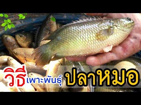 วิธีเพาะพันธุ์ปลาหมอไทย ในบ่อปูน   เพื่อเป็นแนวทางให้แก่เกษตรกร