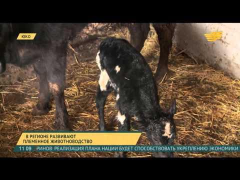 В ЮКО активно развивают племенное животноводство