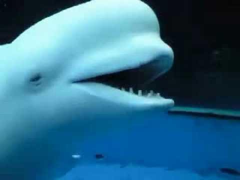 白イルカが人間を威嚇!?