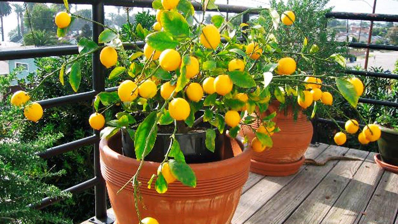 Растения лимоны выращивания уход 95
