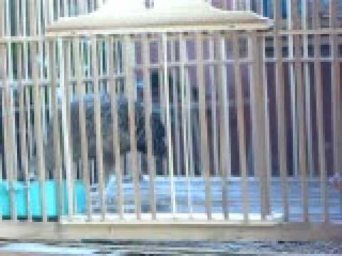 Suara Ayam Hutan Hijau Betina.avi video