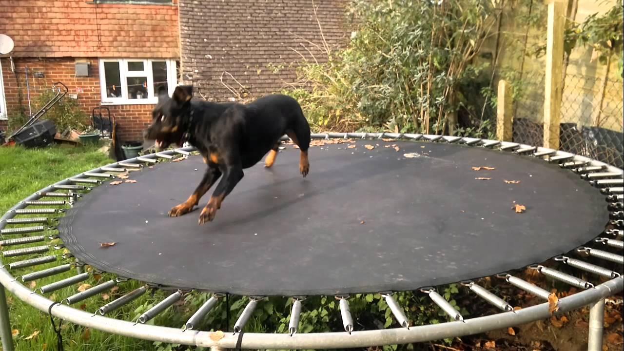 Szinte megőrült a kutya a trambulintól - videó