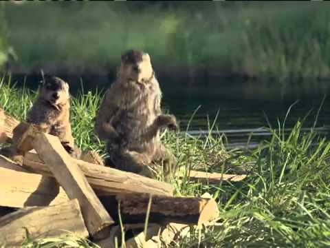 Woodchuck Geico Commercial Video