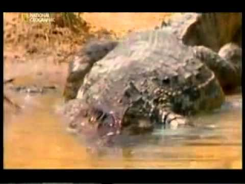 The electric eel is fighting a crocodile - YouTube