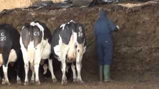 download lagu Feeding Silage To The Cows gratis