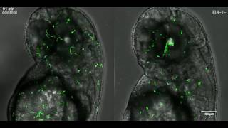 Time-lapse imaging of wild-type and il34 mutant zebrafish larvae between 2 and 3 dpf.