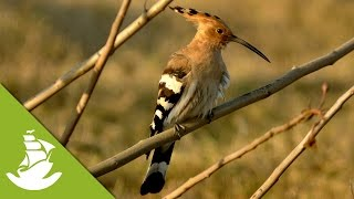 The Hoopoe attack