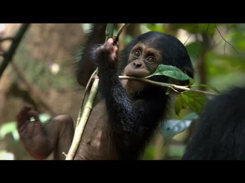 Chimpanzee Official Trailer