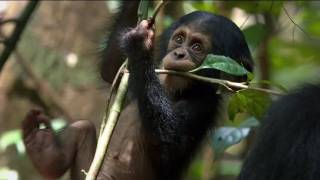 Chimpanzee - Chimpanzee Official Trailer