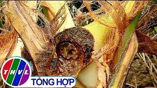 THVL |  Cần nhanh chóng làm rõ việc  hàng chục cây dừa bị động vật ăn củ hủ