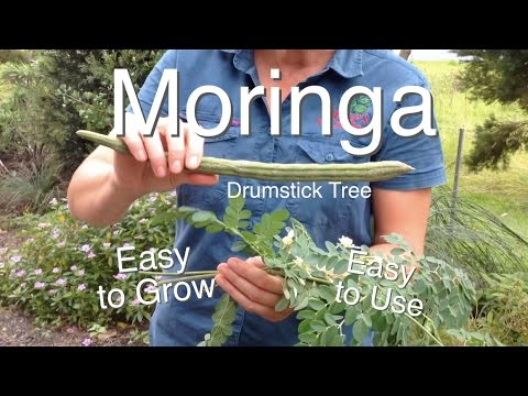 Moringa Tree Easy to grow Easy to use ( Drumstick Tree )