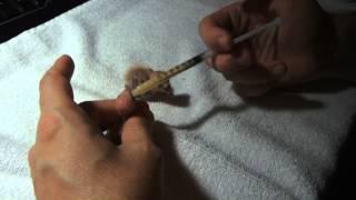 Agapornis papilleros recien nacidos y logrados
