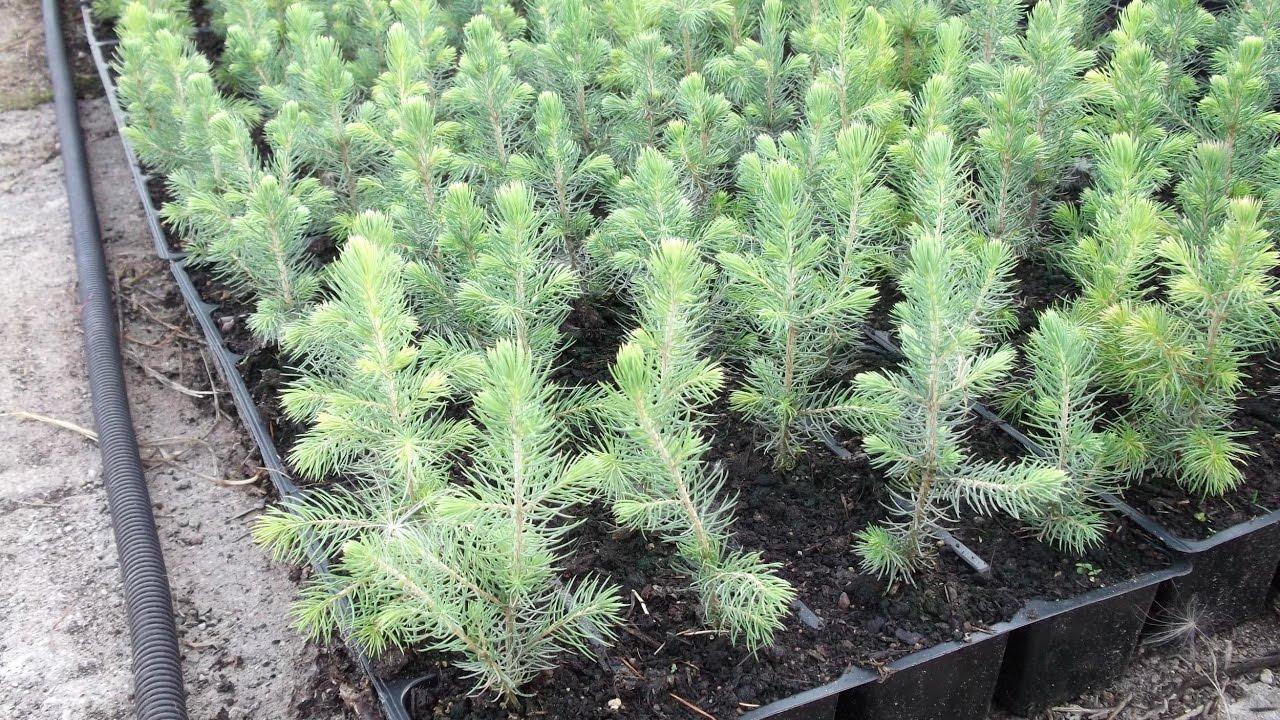 Технология выращивания деревьев 51