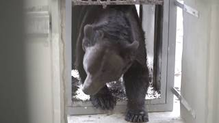 16 years in a cage: A second chance for bear Tyson