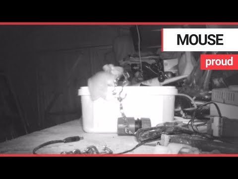 House-proud mouse caught on camera tidying garden shed   SWNS TV
