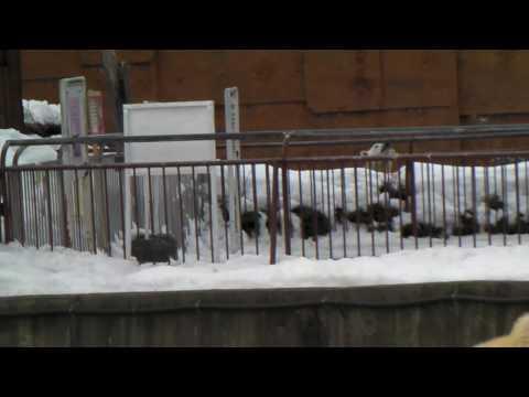 Polar Bear 20100224 お互いを見ているララとピリカ