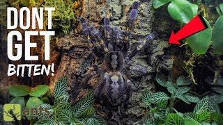 One of the Most Venomous Tarantulas in the World