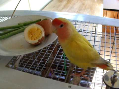 My Gorgeous Lovebirds Singing video