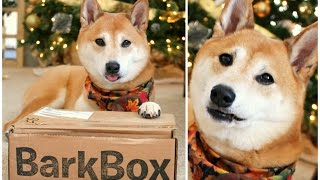 Our CRAZY Shiba Inu! ❤ BarkBox Review