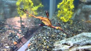 Weedy Sea Dragon At The Worlds Largest Aquarium The Georgia Aquarium
