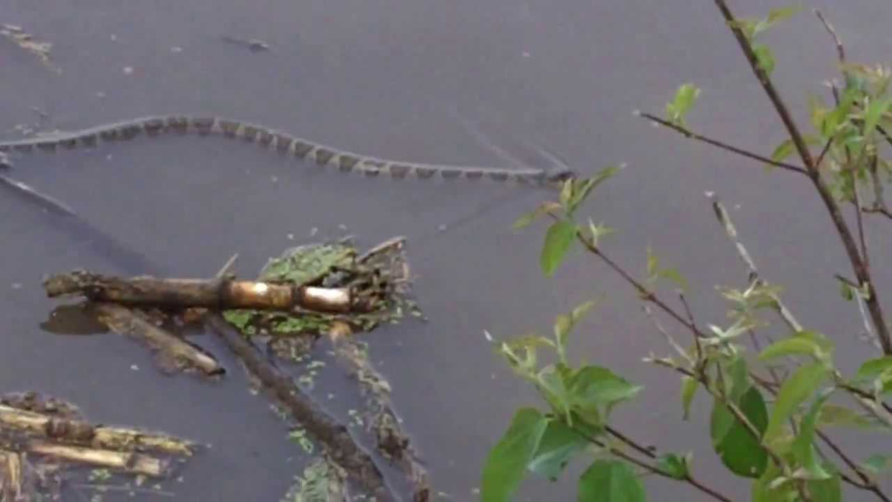 Water snake at big creek state park iowa youtube for Iowa out of state fishing license
