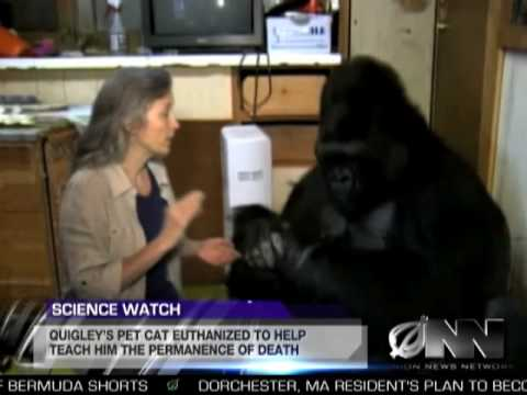 Scientists Successfully Teach Gorilla It Will Die Someday Video