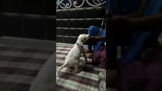 Pakistani Bully Dog Puppy Brujo (38 Day)