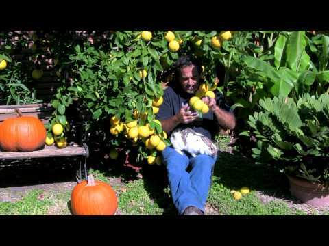 Ginosgardens The Meyers Lemon Tree #116 video