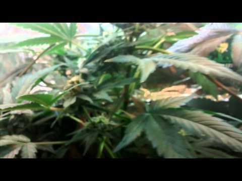 Gom Autofloreciente Haze Gom Autofloreciente Chile