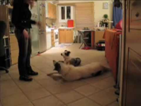 Greek Shepherd silly tricks