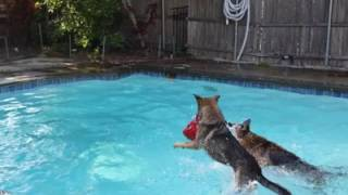Real Life | Some pool fun at home today | Solid K9 Training Dog Training