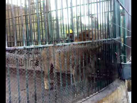 الاسود فى حديقة الحيوانات اسكندرية