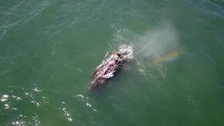 Grey Whale Creates Rainbow Using Blowhole