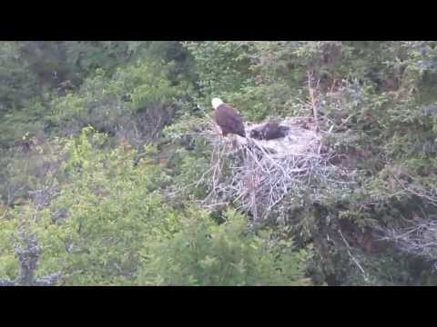 Bald Eagle At Cuckold's Cove video
