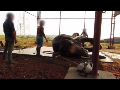 Sunder the Elephant VIOLENTLY Beaten