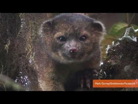 Meet the Olinguito, the First New Carnivore in 35 years