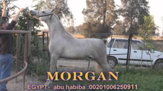 the champion ;morgan ;from abu habiba -egypt :00201006250911