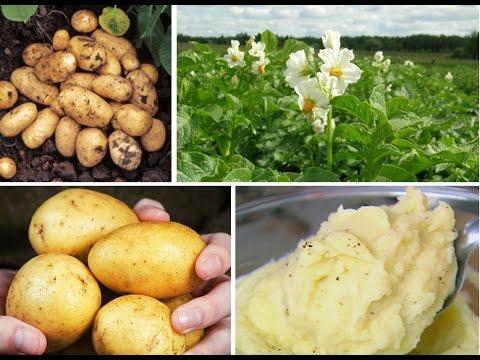 Картофель Адретта - эталон вкуса с 1975 г.! Раннеспелый, урожайный, устойчивый к болезням.