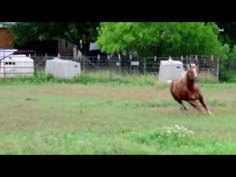 American Quarter Horses For Sale in Texas American Quarter Horses For