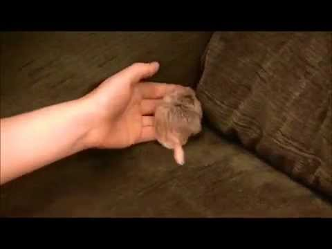 George the foster Duprasi, fat-tailed gerbil (exotic rodent pet)
