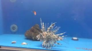 [Lionfish Eating Goldfish] Video