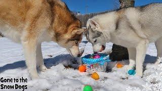 Doing An Easter Egg Hunt For My Dogs | Dogs Easter Egg Hunting 2019