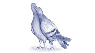 All Clip Of Draw A Pigeon Bhclip Com