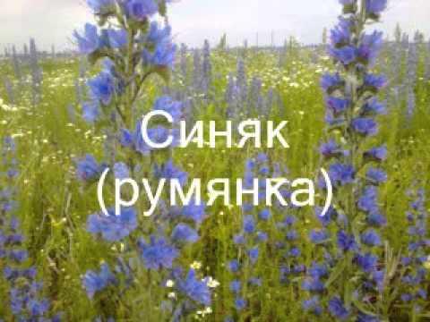 0 - Медонос синяк і його вирощування Синяк рослина отруйна