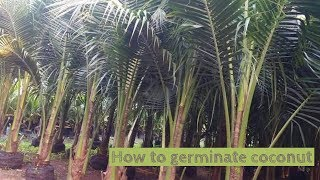 How to germinate coconut from the seed