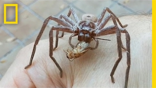 Giant Spider Devours Cricket On Man's Hand | National Geographic
