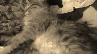 Pregnant cat, sleeping with the kitties in the belly. (HD)
